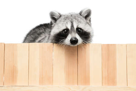 Beautiful white grey raccoon looking at camera isolated over white background.