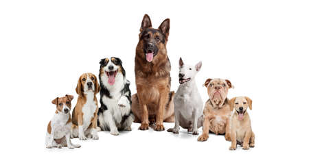 Group of different purebred dogs sitting isolated over white studio background. Collage Stockfoto