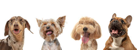 Four different purebred dogs sitting isolated over white studio background. Collage