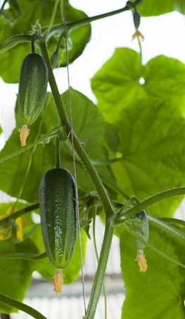 Cucumbers growing on a vine in a rural green house  photo