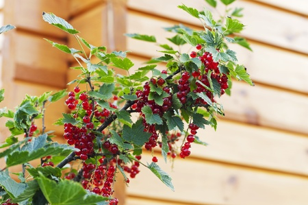bush to grow up: Ripe red currants hanging from bush ready for harvest