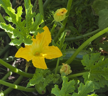 flowering zucchini in the vegetable garden