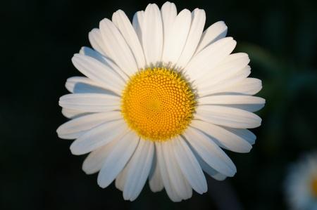 matricaria recutita: Camomilla singolo su uno sfondo scuro, con profondit� di campo. Archivio Fotografico