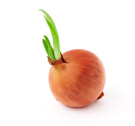 orange peel clove: Cipolla germogliato isolato su sfondo bianco Archivio Fotografico