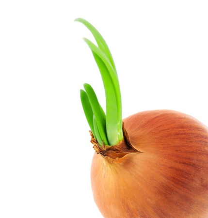Sprouted onion isolated on white background  Stock Photo