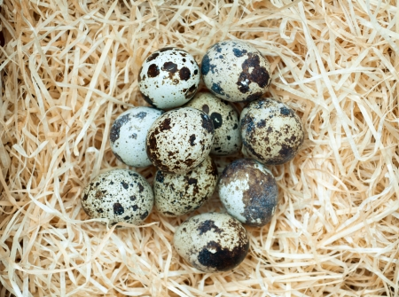 Quail eggs lie on straw Stock Photo - 13769806