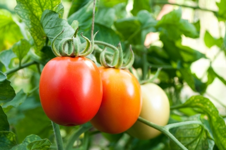 red and green tomatoes grow on twigs  Ripening organic tomatoes on a vegetable bed into the garden  Bio product  photo
