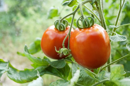 unripe: red tomatoes grow on twigs  Ripening organic tomatoes on a vegetable bed into the garden  Bio product  Stock Photo
