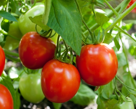 red tomatoes grow on twigs  Ripening organic tomatoes on a vegetable bed into the garden  Bio product  photo