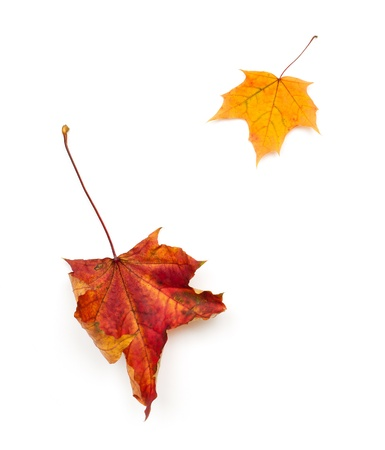 Two autumn leaves of maple on white photo
