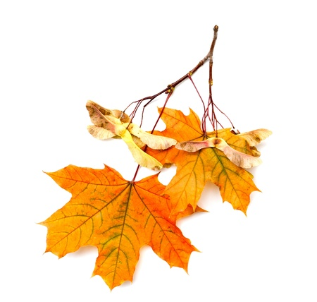 Maple branch with seeds and leaves on a white background photo