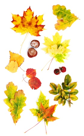 Two autumn leaves. collection. photo