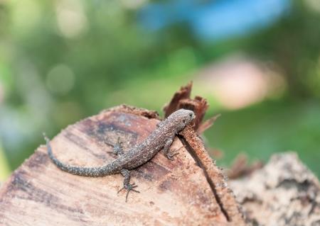 lizard dirty in wood shavings Stock Photo - 16701966