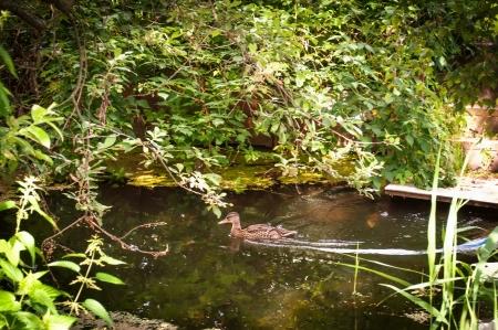 web footed: Female mallard duck swimming in the water amongst vegetation