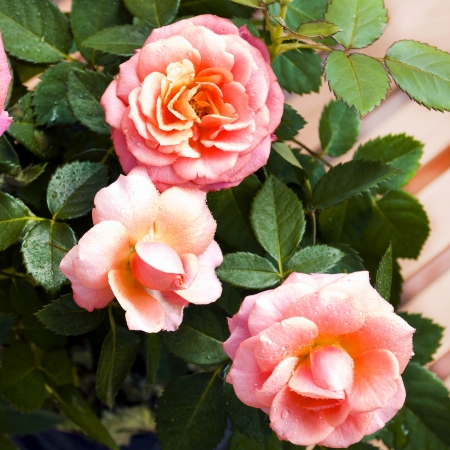 Pink roses. Blooming shrub roses in a pot