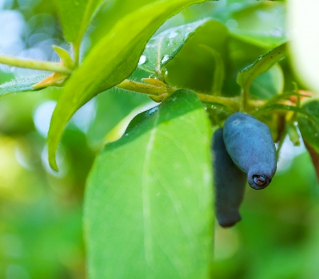 Fresh blue berries honeysuckle woodbine  lonicera  close up