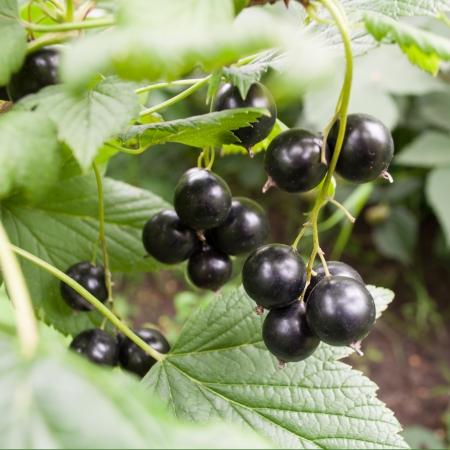 庭で黒スグリの束