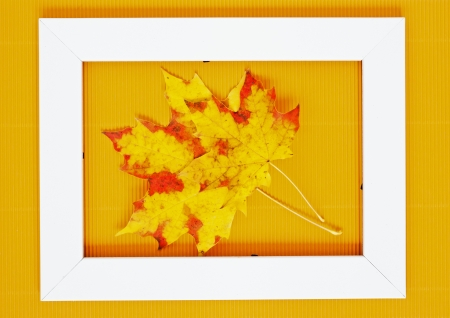 Two autumn leaves of maple lying on white photo