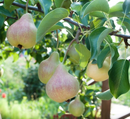 Pears on branch  Pears - orchard photo