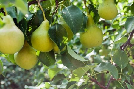 Pears on branch  Pears - orchard Stock Photo - 23022969