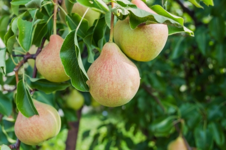 Pears - orchard Stock Photo - 23022970