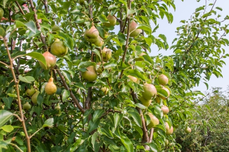 Pears on branch   Stock Photo - 23022976