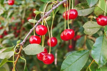 Cherries on branch  Foto de archivo