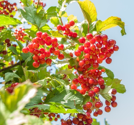 guelder: Guelder rose Red Viburnum Berries