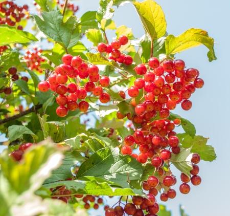 guelder rose berry: Guelder rose Red Viburnum Berries