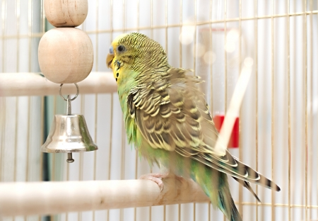 A green domestic budgie sitting with his toy friend. budgie pecks grainsbudgie cleans feathers Standard-Bild