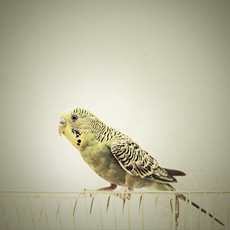 to remain dormant: A green domestic budgie sitting with his toy friend.  budgie pecks grains budgie cleans feathers