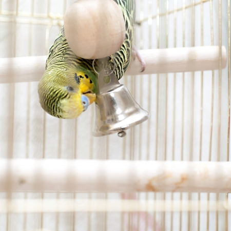 A green domestic budgie sitting with his toy friend.  budgie pecks grains budgie cleans feathers