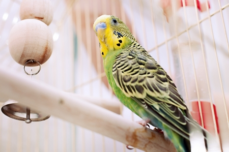 location shot: A green domestic budgie sitting with his toy friend.  budgie pecks grains budgie cleans feathers