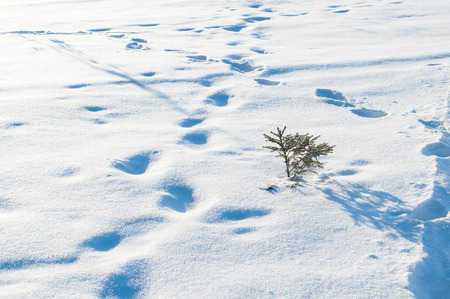 Little tree in the snow and trails photo