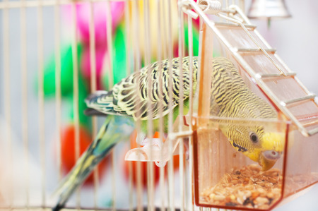 location shot: A green domestic budgie pecks grains Stock Photo