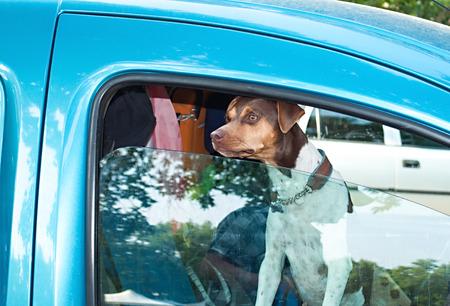 Dog in car Foto de archivo