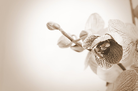 orchid flower: Orchid flower  Sepia