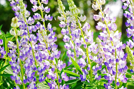 lupines: Wild lupines growing in Black Forest