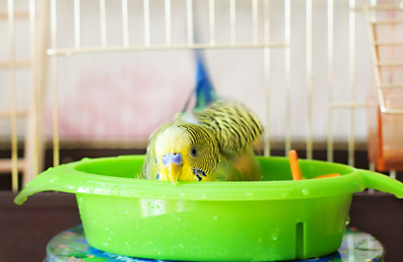 budgerigar  budgie bathes in water Stock Photo