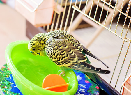 budgerigar  budgie bathes in water Foto de archivo