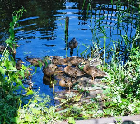 bird web footed: grown chicks duck on a wooden bridge