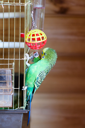 to remain dormant: A green domestic budgie