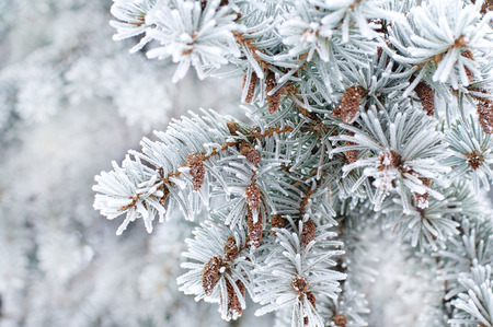 coniferous tree: Winter background. A coniferous tree in hoarfrost and snow  Stock Photo
