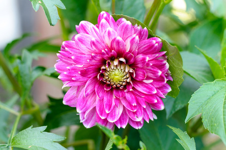 bluer: Beautiful of Pink Garden Dahlia flower