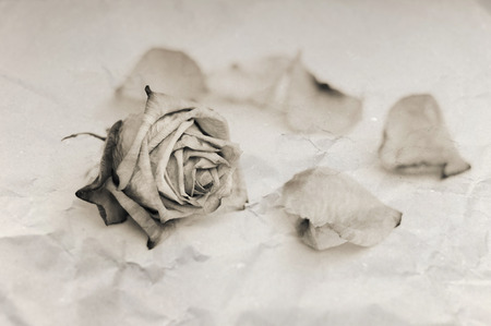 hymn: Withered rose. Sepia