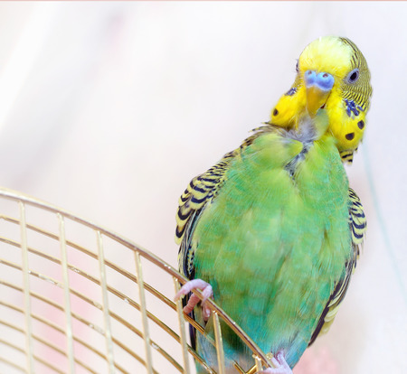 to remain dormant: A green Budgerigar (domestic budgie) Stock Photo