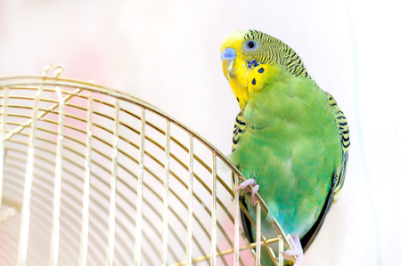 to remain dormant: Green Budgerigar (domestic budgie)