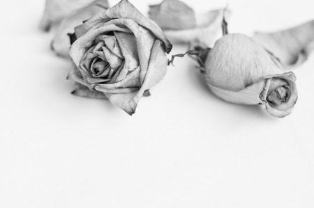 hymn: Fading rose. Dead rose. Black and white