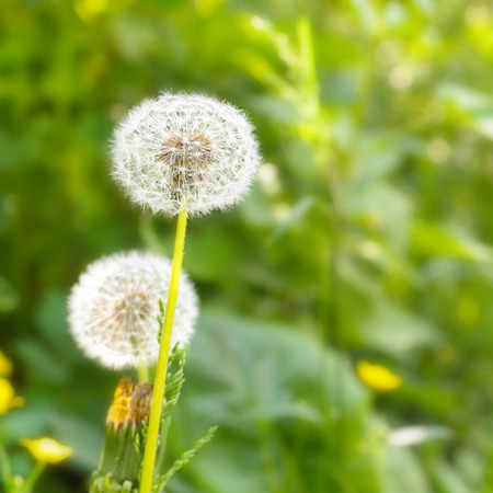 taraxacum: Dandelion (Taraxacum) on field.