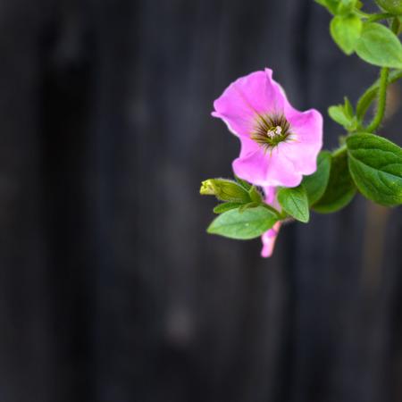 convolvulus: Pink Bindweeds on blur wooden  dark background Stock Photo